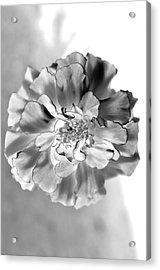 Black And White Marigold Acrylic Print by Christine Ricker Brandt