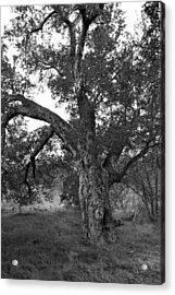 Black And White Oak Acrylic Print by Bransen Devey