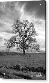 Black And White Oak Tree Acrylic Print