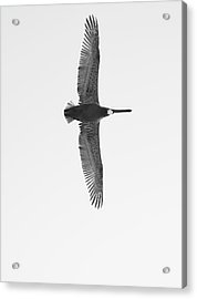 Black And White Pelican Acrylic Print