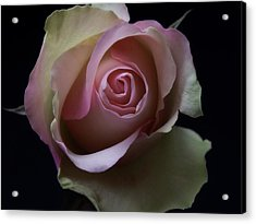 Black And White Pink Flowers Roses Macro Photography Art Work Acrylic Print
