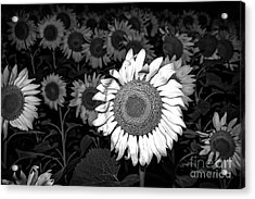 Black And White Sunflowers Acrylic Print by Tod and Cynthia Grubbs