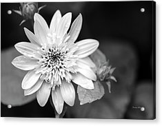 Acrylic Print featuring the photograph Black And White Sunrise Coreopsis by Christina Rollo