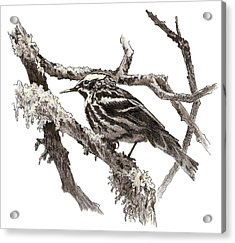 Black-and-white Warbler Acrylic Print