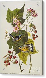Black And Yellow Warbler Acrylic Print by John James Audubon