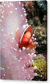 Black Anemone Fish Acrylic Print by Georgette Douwma