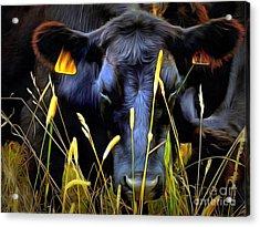 Black Angus Cow  Acrylic Print