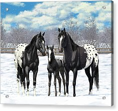 Black Appaloosa Horses In Winter Pasture Acrylic Print