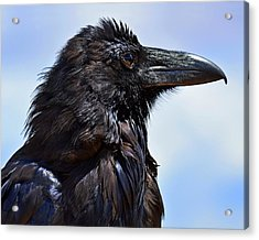 Black As Night - Raven Acrylic Print