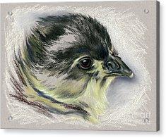 Black Australorp Chick Portrait Acrylic Print