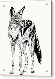 Black-backed Jackal Full Figure Acrylic Print