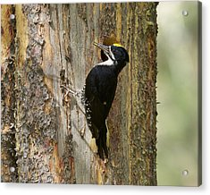 Black-backed Woodpecker Acrylic Print by Doug Herr