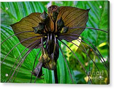 Black Bat Orchid Acrylic Print by Sue Melvin