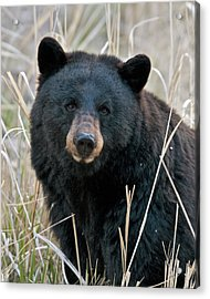 Black Bear Closeup Acrylic Print
