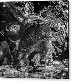 Black Bear Creekside Acrylic Print