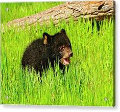 Black Bear Cub Acrylic Print by Dennis Hammer