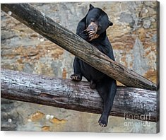 Black Bear Cub Sitting On Tree Trunk Acrylic Print