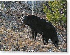 Black Bear Acrylic Print by Dave Clark