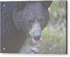 Black Bear  Acrylic Print by Glenn Vidal