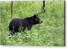 Black Bear In The Woods Acrylic Print