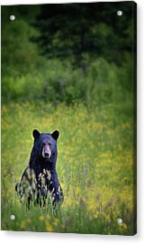 Black Bear Lookin At Me Acrylic Print