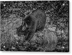 Black Bear Salmon Seeker Acrylic Print