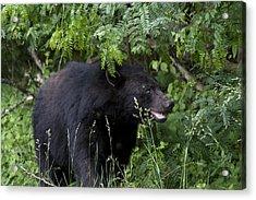Black Bear Acrylic Print by Tina B Hamilton