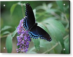 Black Beauty Acrylic Print by Lori Tambakis