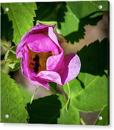 Acrylic Print featuring the photograph Black Bee Collecting Pollen by Darcy Michaelchuk