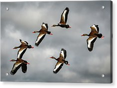 Black Bellied Whistling Ducks Acrylic Print