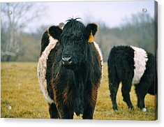 Black Belties Acrylic Print by JAMART Photography