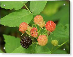 Black Berries Acrylic Print by Michael Peychich