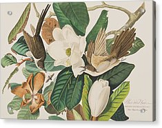 Black Billed Cuckoo Acrylic Print by John James Audubon