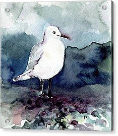 Black-billed Gull Acrylic Print
