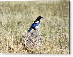 Black-billed Magpie Acrylic Print