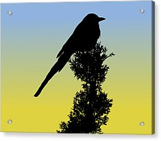 Black-billed Magpie Silhouette At Sunrise Acrylic Print