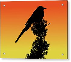Black-billed Magpie Silhouette At Sunset Acrylic Print