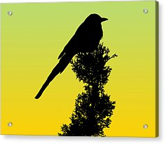 Black-billed Magpie Silhouette - Special Request Background Acrylic Print