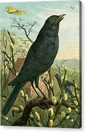 Black Bird Acrylic Print by English School
