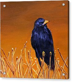 Black Bird Acrylic Print