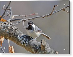 Acrylic Print featuring the photograph Black Capped Chickadee 1109 by Michael Peychich
