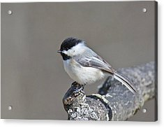 Acrylic Print featuring the photograph Black Capped Chickadee 1128 by Michael Peychich