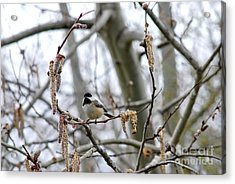 Acrylic Print featuring the photograph Black-capped Chickadee 20120321_39b by Tina Hopkins