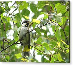 Acrylic Print featuring the photograph Black Capped Chickadee  by Angie Rea