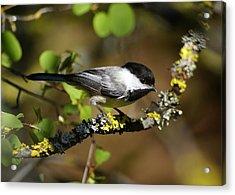 Black-capped Chickadee Acrylic Print by Ben Upham III