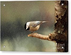 Acrylic Print featuring the photograph Black Capped Chickadee by Darren Fisher