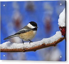 Black-capped Chickadee In Sumac Acrylic Print by Tony Beck