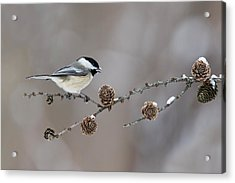 Acrylic Print featuring the photograph Black-capped Chickadee by Mircea Costina Photography