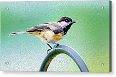 Acrylic Print featuring the mixed media Black-capped Chickadee Oil by Onyonet  Photo Studios