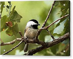 Black Capped Chickadee On Branch Acrylic Print by Sheila Brown